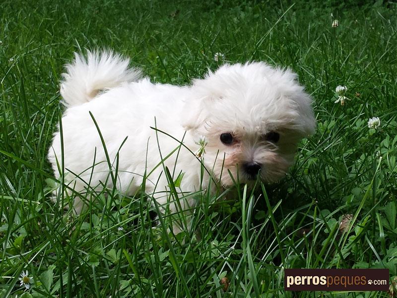 Cachorros y perros peque os cachorros - Barboncino piccolo ...